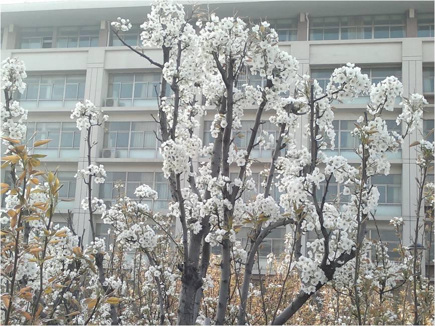 校园内的桃梨园